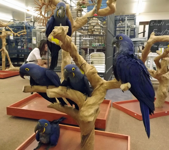 Black Palm Cockatoo And Hyacinth Macaw Parrots For Sale