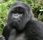 Gorilla tour booking safaris limited